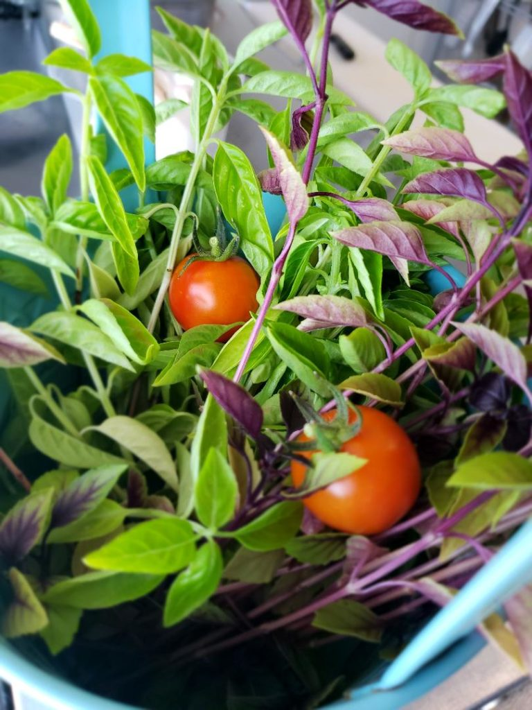 Fresh Purple Basil and Cherry Tomatoes
